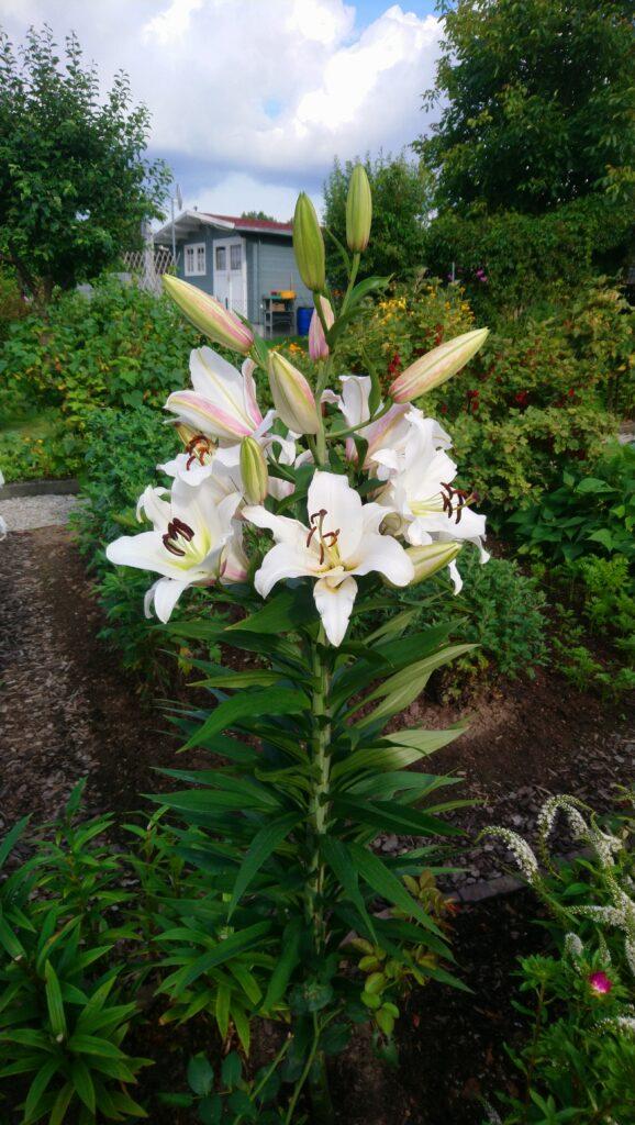 Königs-Lilie in einem Kleingarten